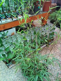 Phyllostachys Nigra, Plants, Deco, Plant, Planets