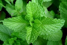 piante aromatiche menta Cerca con Google