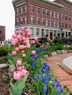 Tulips at Belfast Bay Inn - Belfast, Maine