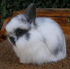 Jersey Wooly rabbits   of rabbit created in the 1970s through crossbreeding, the Jersey Wooly ... A very small bunny, an adult Jersey Wooly Rabbit will only weigh up to about three pounds. This little rabbit is noted for being extremely gentle. They are sweet and docile, as well as smart.
