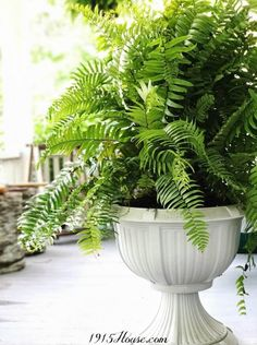 Ferns make outdoor spaces come alive and they're so easy to care for. Fern Planters, Potted Ferns, Front Porch Planters, Macho Fern, Ferns Care, Outdoor Spaces, Outdoor Decor, Cool Diy Projects, House Front