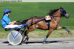 Gotland Pony gelding A'Res showing off. Gotland Pony is the fastest pony trotter.