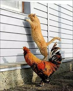 The chicken crossed the road to catch this peeping Tom in the act.