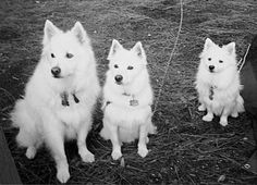 American Eskimos. Standard, Toy, and Miniature. Frosty was a standard and Blizzard is a minature.