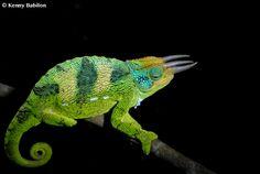Trioceros johnstonii - Rwuenzori three horned chameleon