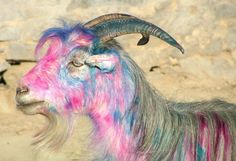 A goat of many colors, by photographer Dave Larson. Afghan goats are painted rather than branded.