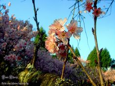 Sakura (cherry blossom). Picture taken by me.