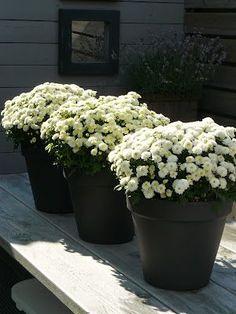 white mums - All For Garden White Mums, Fall Mums, Black Planters, Back Garden Design, Fall Containers, Patio Gazebo, Backyard, Garden Urns, Black Garden