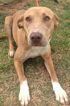 Needs Foster, Adopter or Rescue Commitment by 5pm /Picked up by 6PM THUR 5/23!** email placement@sanantoniopetsalive.org  San Antonio, TX  253935 Lady  Lady is a 4 yr old Lab mix. She is bashful but really likes affection & attention once she gets to know you. She is nervous with other dogs in the kennel but just like with people she will warm up. Lady will make a loving & loyal dog. She needs placement right away as her time is up & she's on euth list! Double click pic to see all info