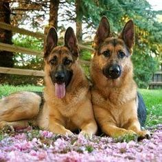 It's very important to name your German Shepherd puppy as early as possible so it can begin to realize when to pay attention to you. #germanshepherd