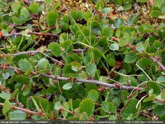 The Flora of Svalbard - Betula nana ssp. tundrarum