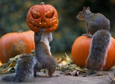 VISIT SITE FOR THE REST OF THE THIEVES! ~ Squirrel Tries To Steal A Carved Pumpkin From Photographer's Backyard