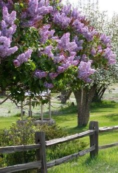 Lilacs: Is there anything more beautiful to me than a lilac bush?