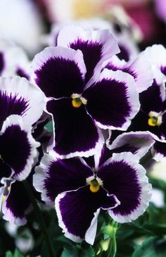 Dark violet Pansies