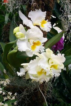 Top 10 Orchids for the Home: #2 Cattleya - This is the classic corsage orchid. Most bloom in winter and early spring and are not difficult to grow in the home. The fragrant flowers last for about a month, with color ranging from white to purple to yellow, orange, red, green and pink. The flowers may be quite large and showy.