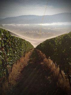 Applejack Vineyard, Yarra Valley. South Australia