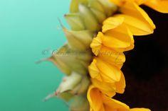 LOVE the aqua yellow and black color combo! Sunflower Decor Botanical Print Flower Photograph by ChrisKozPhoto