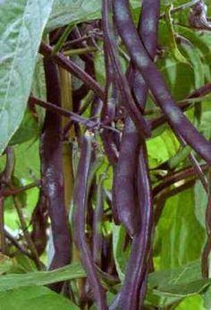 Purple Queen Bush Bean - (Phaseolus vulgaris)