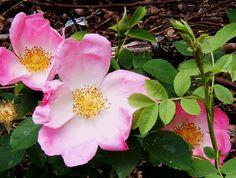 Old Garden Roses | Old Garden Roses | Fraser Valley Rose Farm