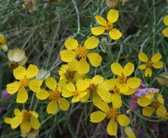Paperflower, Desert Botanical Garden