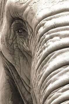 """""""I am looking at you with my wise eye.."""" #elephant"""