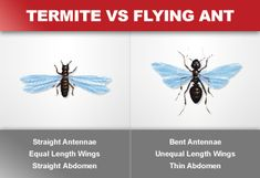 Let's face it: discovering that you have termites can be a distressing experience indeed. However, there are a variety of effective ways to prevent and treat termite infestations. When it comes to treating low scale infestations, for Termite Damage, Termite Control, Pest Control, Types Of Termites, Flying Ants, Termite Inspection