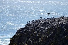 Preacher - A colony of penguins.