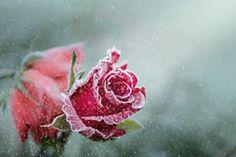 Rose, gel, neige, hiver, fleur, neige