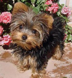 yorkshire terrier puppies…