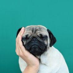 Tired Pug.