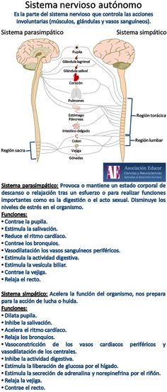 sistema-nervioso-autonomo-parasimpatico-simpatico.jpg (682×1600)