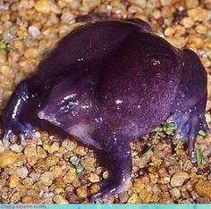 Indian Purple Frog ~