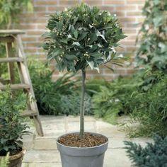 Laurus nobilis  Bay Tree - for pots in outdoor area