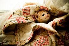 kitteh under a blanket