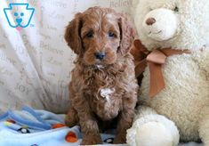 This handsome fella is a Cockapoo waiting to meet his new best pal. He loves running around playing with children he's currently being raised with. Cockapoo Puppies For Sale, Best Pal, Design Development, Cute Animals, Dogs, Pretty Animals, Cutest Animals, Pet Dogs, Cute Funny Animals