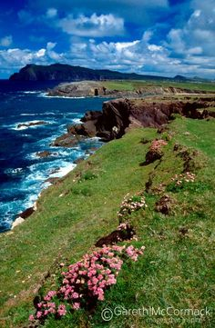 Thrift and coastal scenery, Dingle Peninsula, Co Kerry, Ireland. Stock Photo