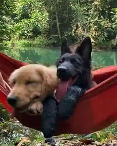 Animals Discover black shepherd is enjoying with other dog Funny Animal Videos, Cute Funny Animals, Cute Baby Animals, Funny Dogs, Animals And Pets, Cute Puppies, Cute Dogs, Dogs And Puppies, Doggies