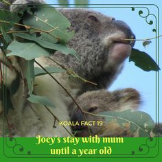 Joey will be around big when ready to leave mum and start life on their own. Don't forget to find more great koala facts, games and puzzles on Mist's site. Byron Bay, Weird Facts, Lonely Planet, Animals Beautiful, Mists, Puzzles, Don't Forget, Applique, Core