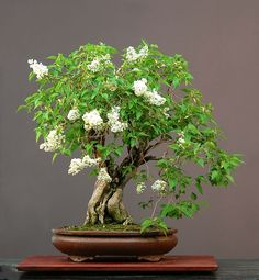 Bonsai Miniature Trees – a Visual Little Miracle by Japanese Art Wedding Gifts For Newlyweds, Unique Wedding Gifts, Unique Weddings, Marriage Reception, Wedding Speeches, Wedding Vows, Wedding Cards, Syringa Vulgaris, Plantas Bonsai
