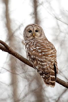 Barred Owl ~ Oh Hello! by Alex Thomson13 on Flickr