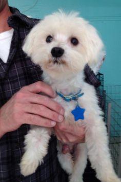 Hollywood Maltese • Adult • Male • Small Oklahoma Westie Rescue Bixby, OK