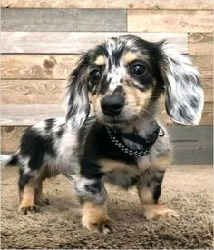 20 Dachshunds With The Most Beautiful Coat Patterns. - Dog Red LineYou can find Dachshund puppies and more on our Dachshunds With The Most Be. Dachshund Breed, Long Haired Dachshund, Dachshund Love, Daschund, Cute Dogs And Puppies, Baby Dogs, I Love Dogs, Baby Puppies, Baby Baby
