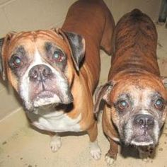Pictures of Bailey a Boxer for adoption in West Memphis, AR who needs a loving home.