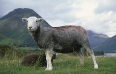 Close, side view of a Herdwick sheep with shorn coat at Wast Water in the Lake District, with Yew Barrow in the distance