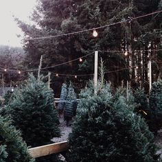 Christmas | Xmas | Jul | Noël. Trees. Forest...Live is the best way to go!