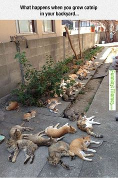 What Happens When You Grow Catnip In Your Backyard - http://www.memefunnies.com/what-happens-when-you-grow-catnip-in-your-backyard/