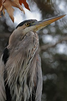 Heron....my koi and I are not fond of this fellow.  I was amazed at how enormous they are until I saw one walking around my koi pond last summer.