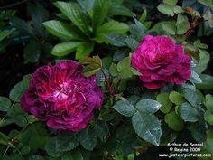 Arthur de Sansal, a regal purple crimson type of Damask rose with a powerful scent.