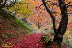 fotografias de bosques | Otoño en los bosques de Cosgaya, La Liébana, Cantabria, Picos de ...