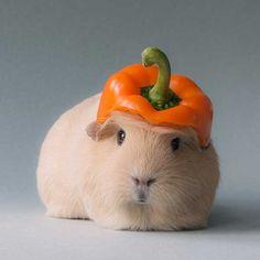 guinea pig photos